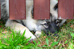 Dog fence locked Wolfspitz Stock Images
