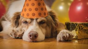 The dog in a festive cap lies near the gifts. Pet Holiday.  royalty free stock image