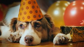 The dog in a festive cap lies near the gifts. Pet Holiday.  stock photos