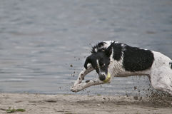Dog fetch ball Royalty Free Stock Images