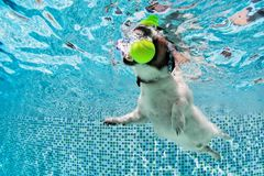 Dog fetch ball in swimming pool. Underwater photo. Playful jack russell terrier puppy in swimming pool has fun. Dog jump, dive underwater to fetch ball stock photo