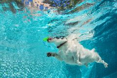 Dog fetch ball in swimming pool. Underwater photo. Playful jack russell terrier puppy in swimming pool has fun. Dog jump, dive underwater to fetch ball stock images