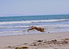 Dog fetch running ball beach Royalty Free Stock Photo