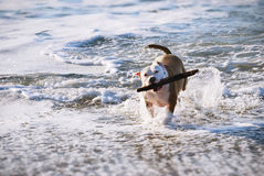 Dog fetching. While running from the ocean stock images