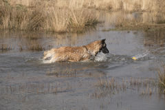 Dog fetching a ball in the water Royalty Free Stock Photo