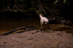 Dog fetching a big stick at a waterfall pool Royalty Free Stock Photos