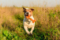 Dog fetching bone. Jack Russell Terrier playing at autumn field Stock Photos