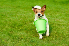 Dog fetching greenery bucket as gardener running on grass. Concept of funny gardening at country Royalty Free Stock Photo