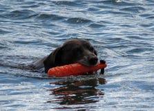 Dog Fetching Stock Image
