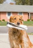 Dog Fetching the News Paper Stock Photography