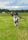 Dog fetching stick Stock Images