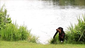 Dog fetching a stick from the lake, rottweiler stock video footage