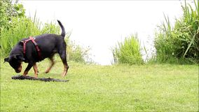 Dog fetching a stick from the lake stock video footage