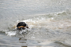 Dog fetching a stick. Dog playing in water and fetching a wooden stick royalty free stock image