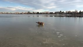 Dog Fetching Stick in Thin Ice stock video