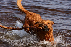 Dog fetching stick in water. A dog returns from fetching a stick in the lake stock photo