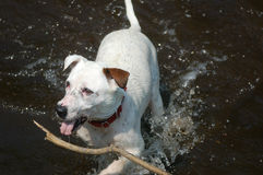 Dog fetching stick in water Royalty Free Stock Photo