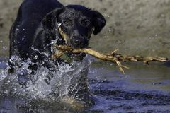 Dog Fetching Stick in Water. Dog fetching stick splashing through water stock image