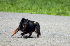Dog Fetching Tennis Ball. Black and tan dog fetching a ball at a dog park. Green Tennis ball is right in front of the circling dog about to snatch it from the Royalty Free Stock Photography