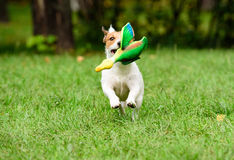 Dog fetching a toy duck Royalty Free Stock Photography