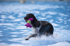 Dog fetching toy in swimming pool. Dog, fetching toy in swimming pool, blue water Stock Photography