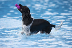 Dog fetching toy in swimming pool. Blue water Stock Photos