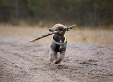 Dog fetching a wooden stick. Royalty Free Stock Photo