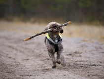 Dog fetching a wooden stick. Stock Images