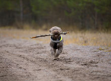 Dog fetching a wooden stick. Stock Image