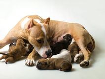 Dog and a few little  puppies Stock Photography