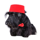 Dog in fez Stock Photography
