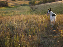 Dog on field. Steppe landscape with a dog stock images