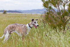 Dog in field Stock Photos