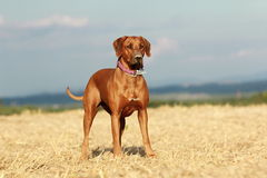 Dog in the field. Rhodesian ridgeback dog standing in the field Stock Photo