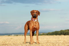 Dog in the field. Rhodesian ridgeback dog standing in the field Stock Image