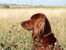 Dog on field. Dog sit on filed and look around Royalty Free Stock Images