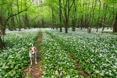 Dog in a field of bear garlic in a spring forrest Stock Photos