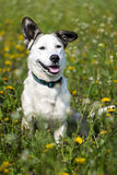 Dog on the field of blowballs. Cute happy dog on the field of dandelions Stock Photos