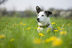 Dog on the field of blowballs. Cute mixed breed dog on the field of dandelions Royalty Free Stock Photography
