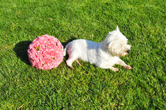 Dog in field. Breed dog, West Highland White Terrier, lying in the grass Royalty Free Stock Image