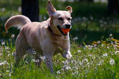 Dog playing with rubber toy ball on a flower field stock photos