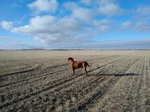 Dog in a field. Dogue de bordeaux in a field Royalty Free Stock Photography