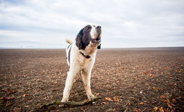 Dog on Field. European agricultural country side of South Moravia. Dog landseer - gaint breed Royalty Free Stock Photo