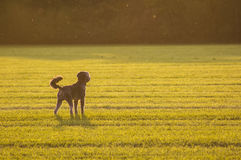 Dog. A dog in a field of grass Stock Photography
