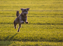 Dog. A dog in a field of grass Stock Images
