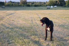 Dog in a field. Great dane dog standing in a field Royalty Free Stock Image