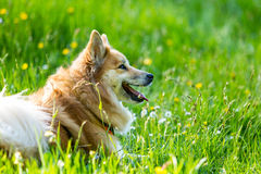 Dog in the spring field with flowers Royalty Free Stock Image