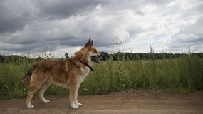 The dog in a field Royalty Free Stock Photos