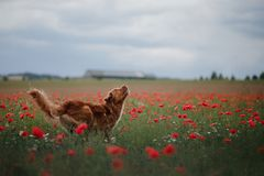 Dog in the field of poppies. Nova Scotia Duck Tolling Retriever, Toller. Pet on vacation royalty free stock photo