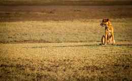 Dog on a field Royalty Free Stock Image
